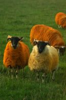The Irish Sheep